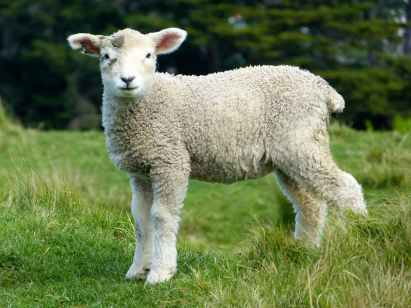 white sheep during daytime
